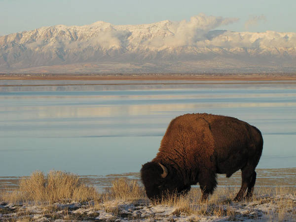 Horizontal Poster featuring the photograph Bison In Front Of Snowy Mountains by Mathew Levine