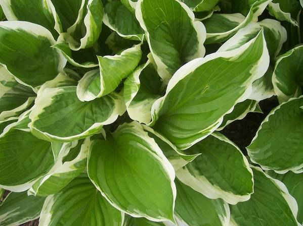 Hostas Foliage Leaves Green White Garden Poster featuring the photograph Hostas 1 by Anna Villarreal Garbis