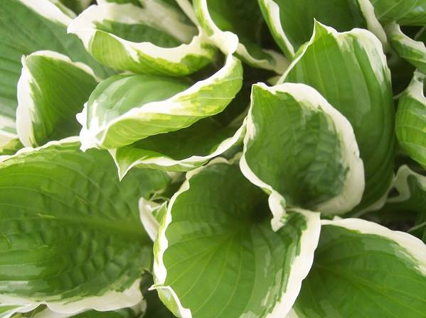 Hostas Leaves Foliage Green White Poster featuring the photograph Hostas 2 by Anna Villarreal Garbis