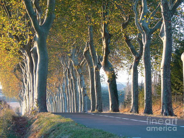 France Poster featuring the photograph Beloved Plane Trees by France Art
