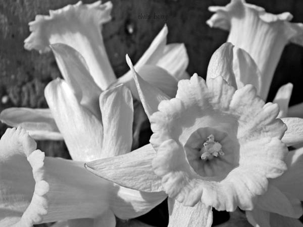 Narcissus Poster featuring the photograph Daffodil Monochrome Study by Chris Berry