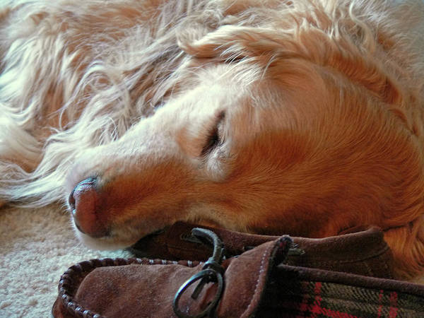 Golden Retriever Poster featuring the photograph Golden Retriever Sleeping With Dad's Slippers by Jennie Marie Schell