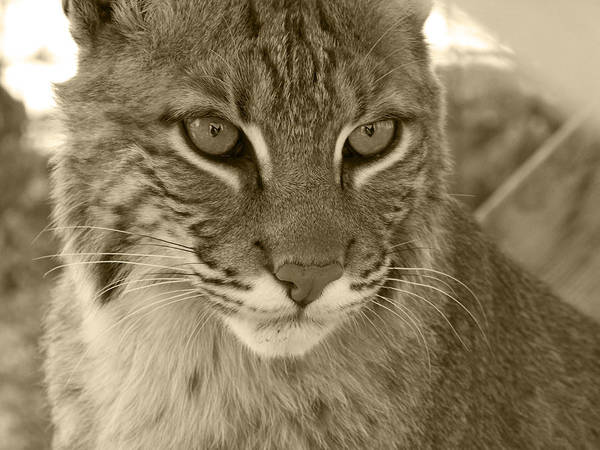 Bobcats Poster featuring the photograph Male Bobcat - Sepia by Jennifer King