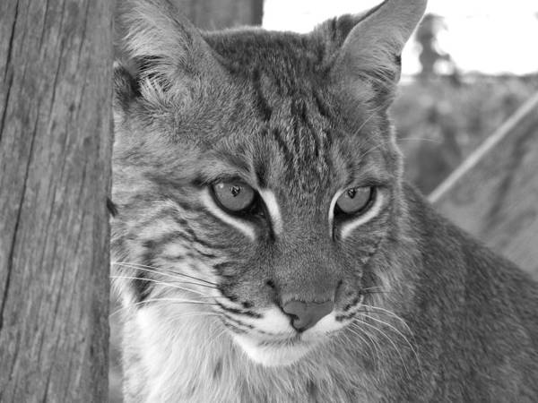 Wildlife Poster featuring the photograph The Hunter Black And White by Jennifer King