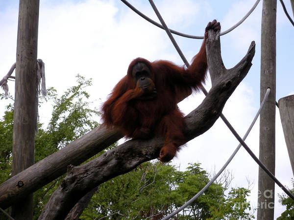 Orangutang Poster featuring the photograph Thinking Of You by Joseph Baril