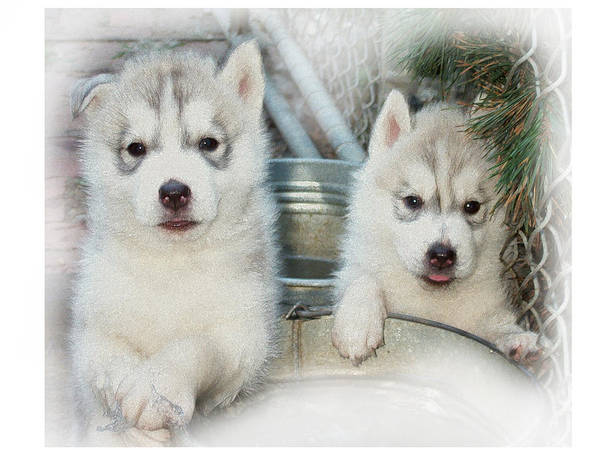 Siberian Poster featuring the photograph Siberian Husky Puppies by Jean Gugliuzza