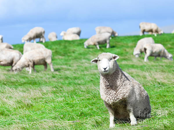 Sheep Poster featuring the photograph Sheeps by MotHaiBaPhoto Prints
