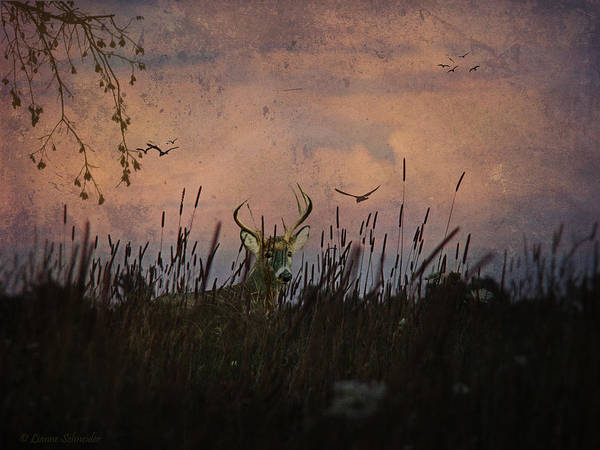 Deer Poster featuring the photograph Bedding Down For Evening by Lianne Schneider