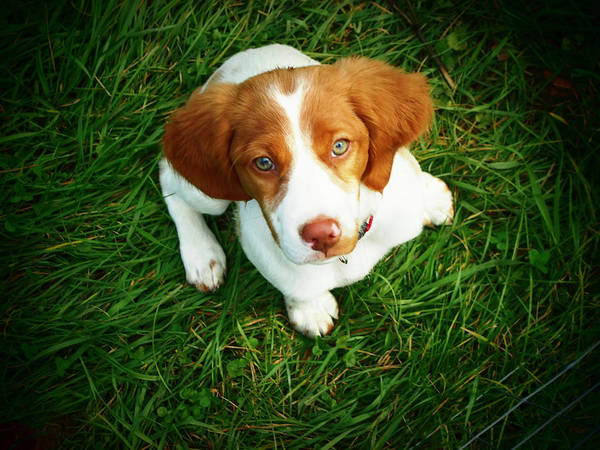 Horizontal Poster featuring the photograph Brittany Spaniel Puppy by Meredith Winn Photography