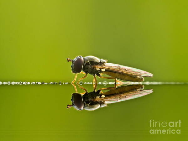 Animal Poster featuring the photograph Fly Reflection by Odon Czintos