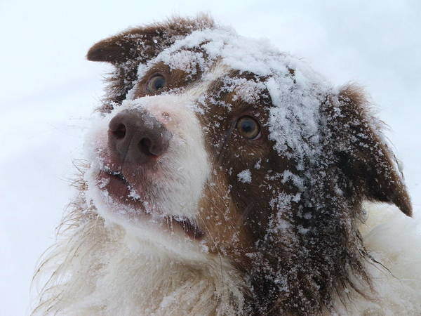 Dogs Poster featuring the photograph Keepstone Snows by Heather Jett