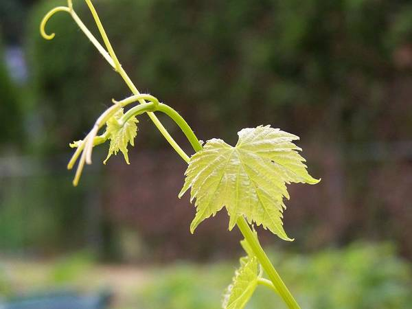 Grape Poster featuring the photograph Grapevine by Heather L Wright