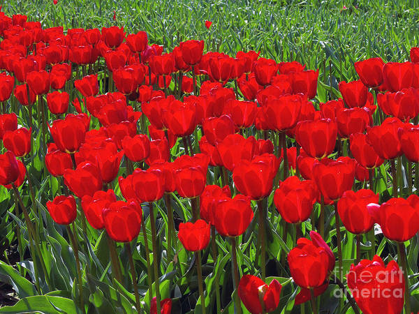 Red Tulips Poster featuring the photograph Field Of Red Tulips by Sharon Talson
