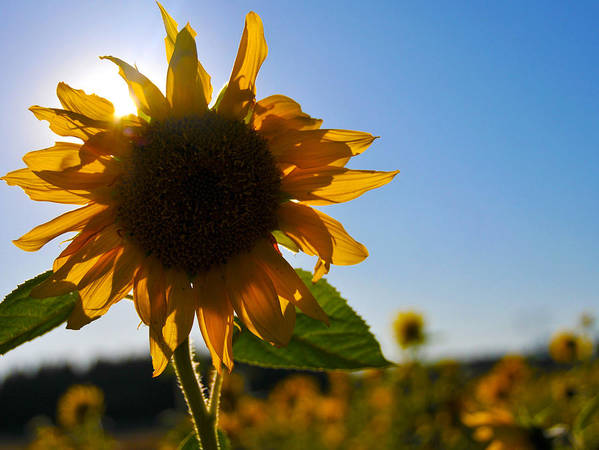 Sunflower Poster featuring the photograph Sun And Sunflower by Brian Bonham