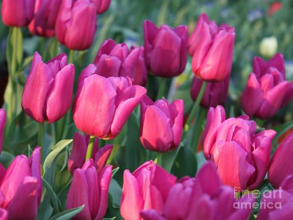 Pink Tulips Poster featuring the photograph Sunlight On Pink Tulips by Carol Groenen