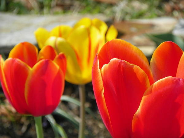 Flowers Poster featuring the photograph Tulip Celebration by Karen Wiles