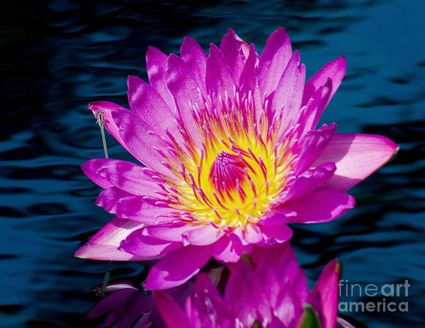 Aquatic Poster featuring the photograph Purple Lily On The Water by Nick Zelinsky