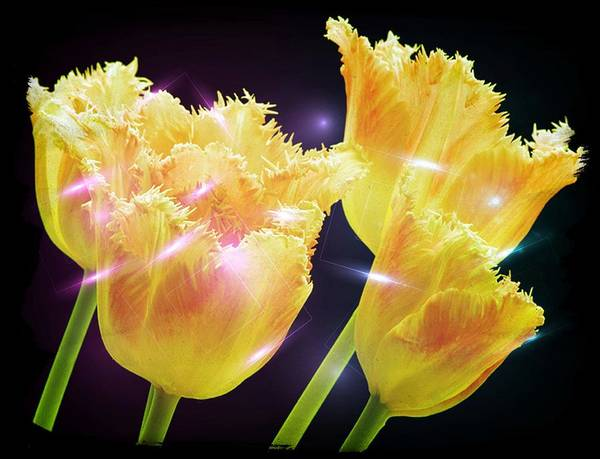 Tulips Poster featuring the digital art Sunshine Tulips by Debra Miller