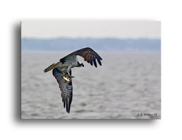 2d Poster featuring the photograph Osprey Grab by Brian Wallace