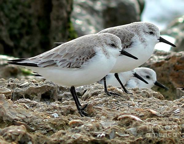 Sanderlings Poster featuring the photograph Beaks And Legs by Theresa Willingham