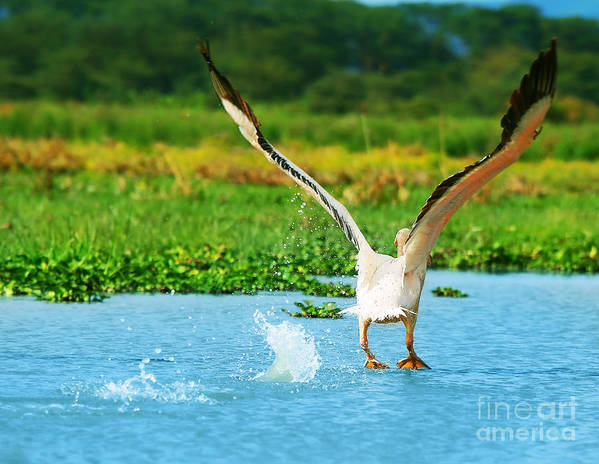 Africa Poster featuring the photograph Flying Great White Pelican by Anna Omelchenko