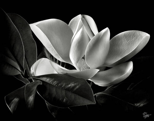 Flower Poster featuring the photograph Magnolia In Black And White by Endre Balogh