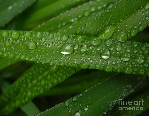 Rain Poster featuring the photograph Raindrops On Green Leaves by Carol Groenen