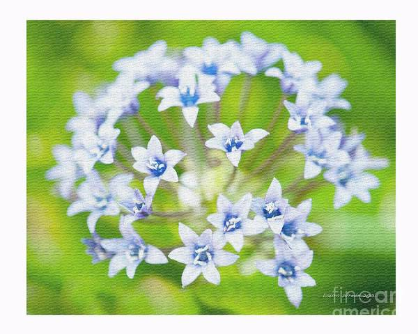 Agapantha Purple Flowers Poster featuring the photograph Agapantha Purple Flowers by Artist and Photographer Laura Wrede