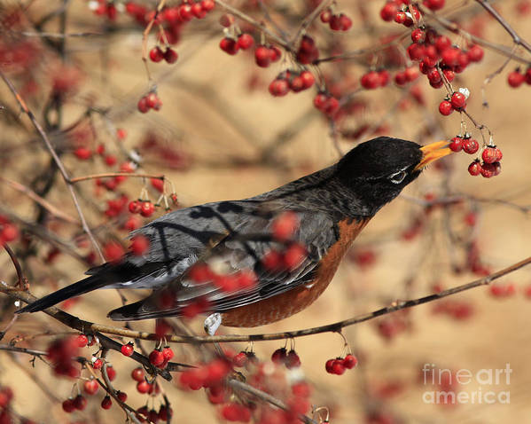 Shelley Myke Poster featuring the photograph American Robin Eating Winter Berries by Inspired Nature Photography Fine Art Photography