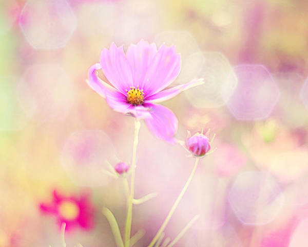 Pink Flowers Poster featuring the photograph Lovechild by Amy Tyler