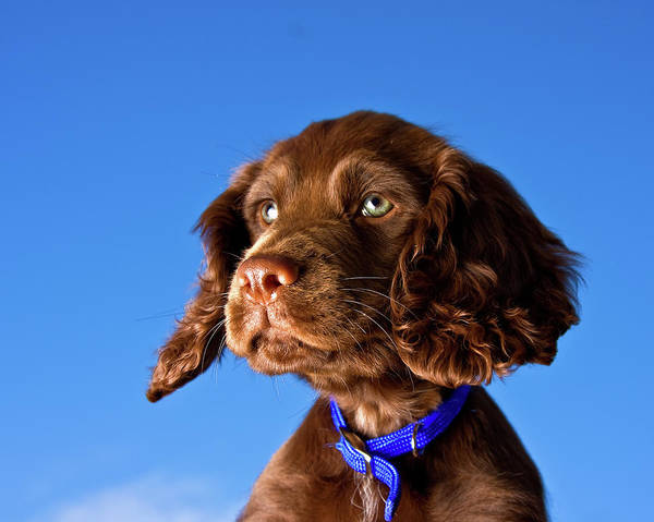 Horizontal Poster featuring the photograph Chocolate Brown Cocker Spaniel Puppy by Andrew Davies