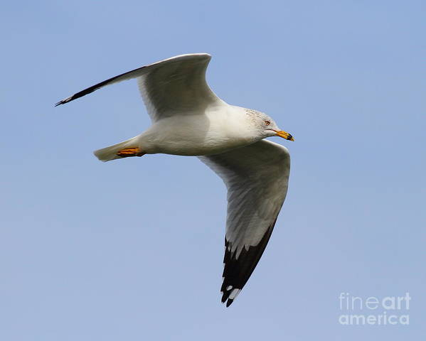 Bird Poster featuring the photograph Gull In Flight . 7d12084 by Wingsdomain Art and Photography