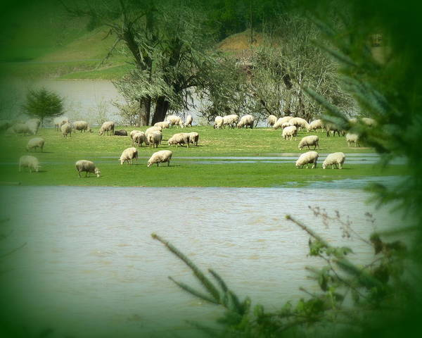 Cindy Poster featuring the photograph Sheep Grazing Amidst Flood by Cindy Wright