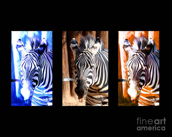Zebra Poster featuring the photograph The Three Zebras Black Borders by Rebecca Margraf