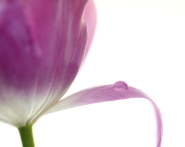 Tulip Poster featuring the photograph Balance by Rebecca Cozart