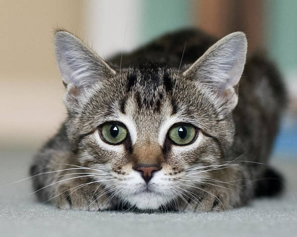 Horizontal Poster featuring the photograph Tabby Kitten by Jody Trappe Photography