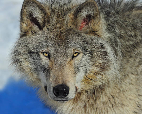 Timber Wolf Poster featuring the photograph Timber Wolf Portrait by Tony Beck