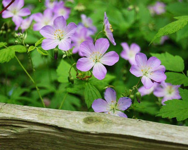 Flowers Poster featuring the photograph Wild Geraniums by Michael Peychich