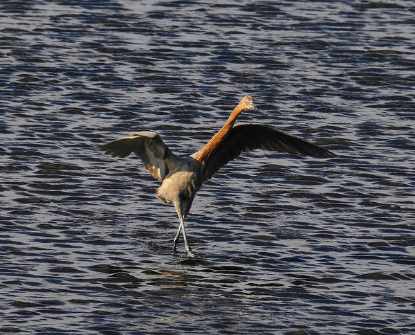 Wildlife Photography Poster featuring the photograph Prancing Heron by David Lee Thompson