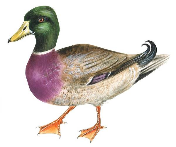 No People; Horizontal; Full Length; White Background; Standing; One Animal; Animal Themes; Illustration And Painting; Mallard; Anas Platyrhynchos; Duck; Bird; Aquatic Poster featuring the drawing Mallard by Anonymous