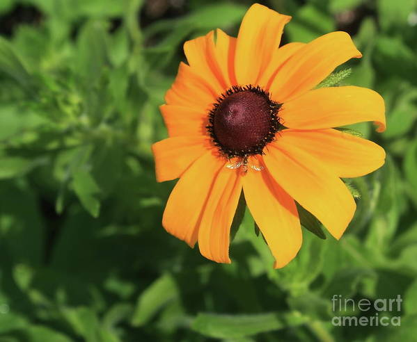 Plant Poster featuring the photograph Black Eyed Susan 2 by Marjorie Imbeau