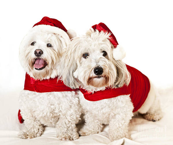 Dogs Poster featuring the photograph Two Cute Dogs In Santa Outfits by Elena Elisseeva