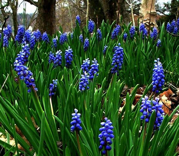 Floral Art Poster featuring the photograph Grape Hyacinths by Julie Dant