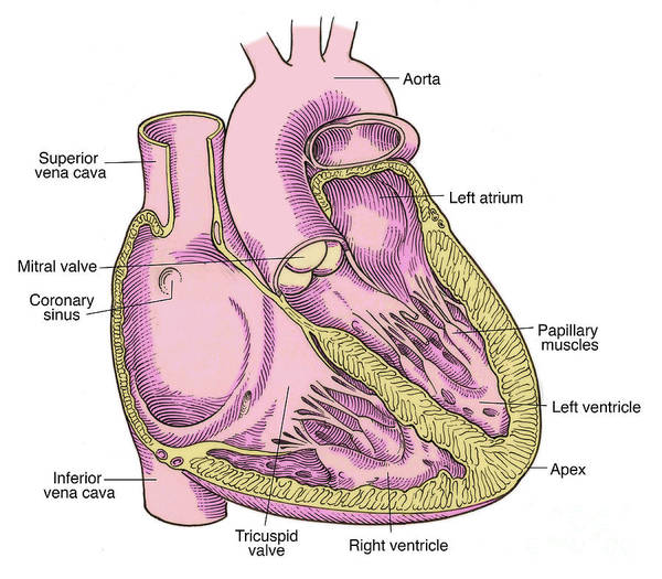 Anatomy Poster featuring the photograph Illustration Of Heart Anatomy by Science Source