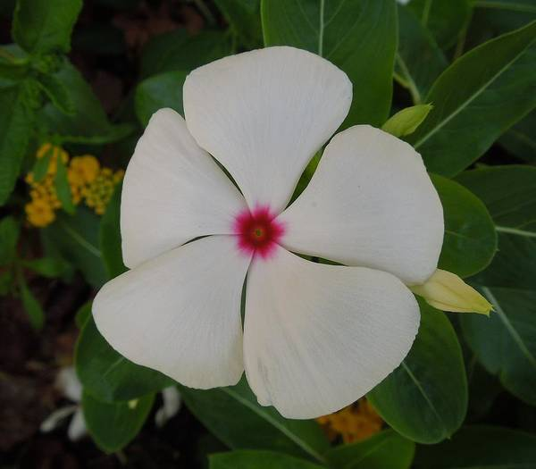 Vinca Poster featuring the photograph A White Star With A Red Center by Chad and Stacey Hall