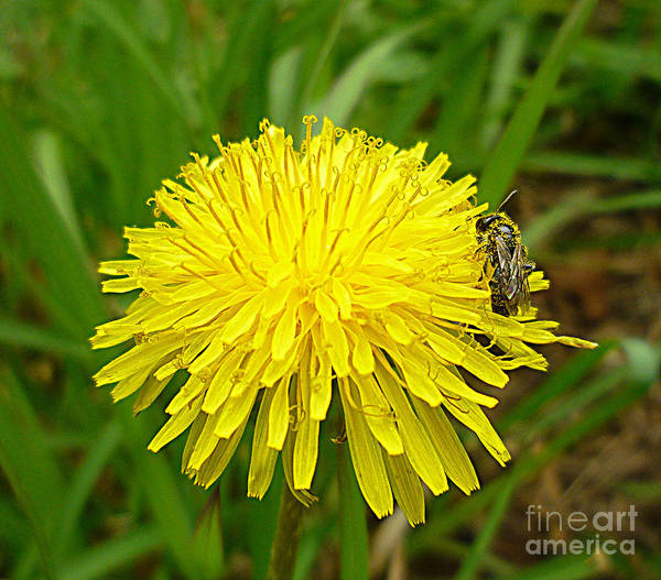 Flower Poster featuring the photograph Honey Bee Full Of Pollen by Renee Trenholm