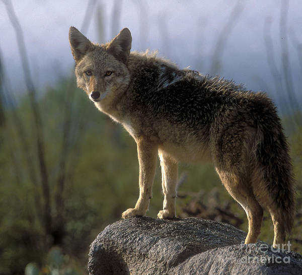 Coyote Poster featuring the photograph Coyote In Ocotillo Trees by Sandra Bronstein