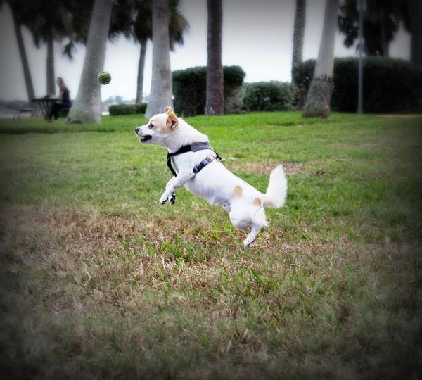 Jack Russell Pomeranian Poster featuring the photograph Jump by Mandy Shupp