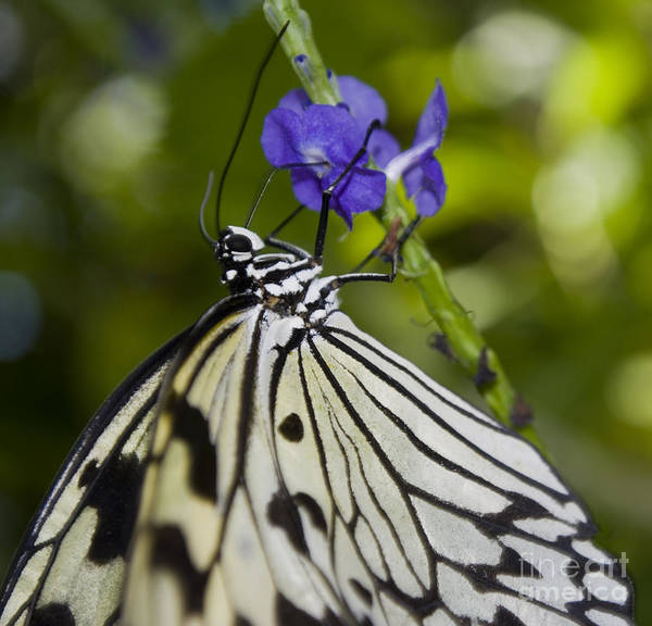 Paper Kite Butterfly Poster featuring the photograph Paper Kite Butterfly by Heather Applegate