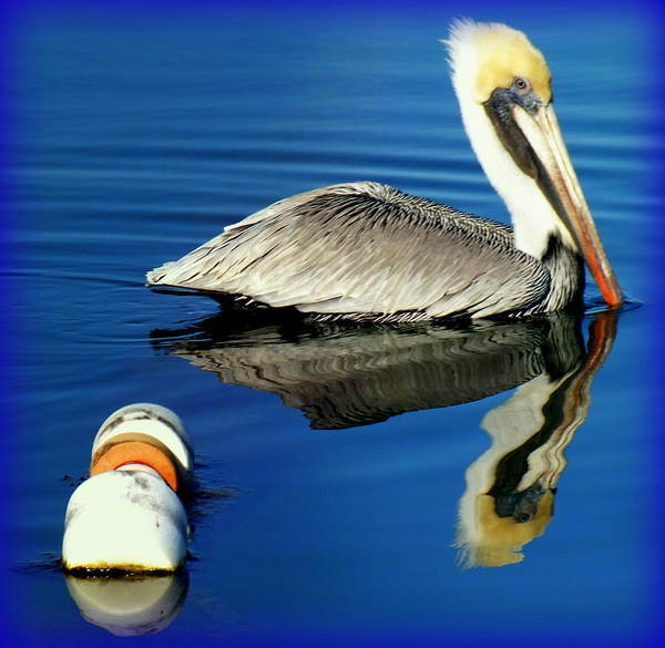 Pelicans Poster featuring the photograph Blues Pelican by Karen Wiles